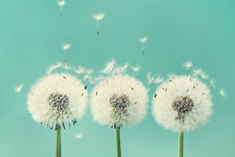 Trzy pięknego dandelion kwiatu z lataniem upierzają na turkusowym tle zdjęcia royalty free