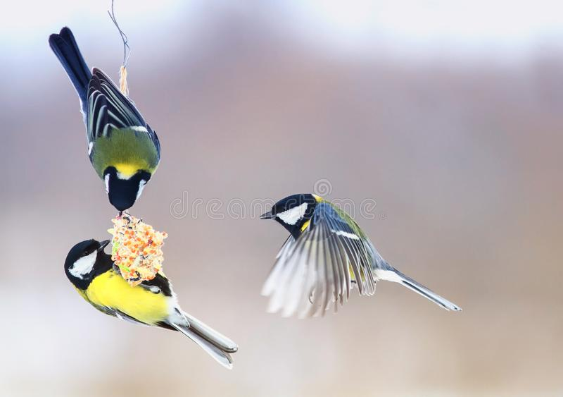Trzy pięknego głodnego małego ptasiego Tits latali na wiszącym żłobie zdjęcie stock