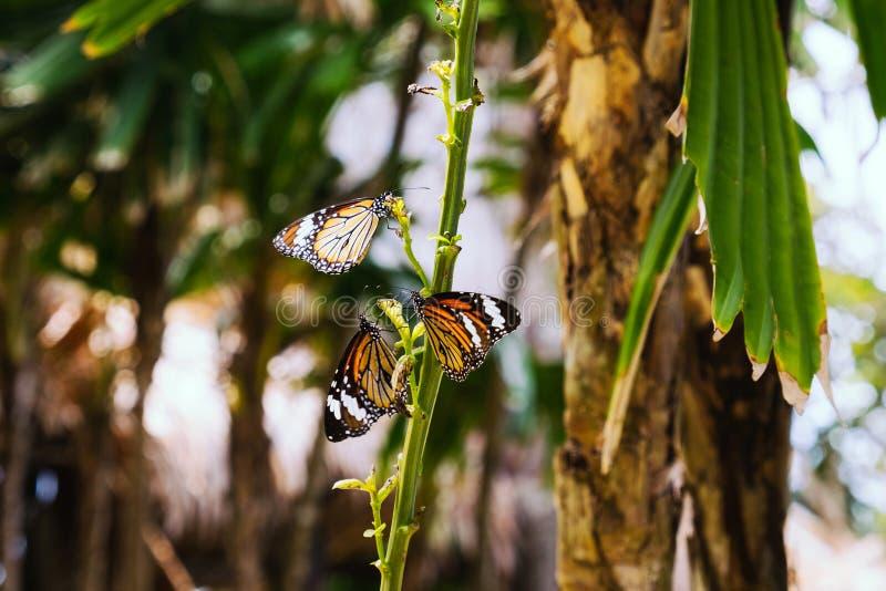 Trzy pięknego motyla dzwonili Danaus genutia str lub błonie zdjęcia stock