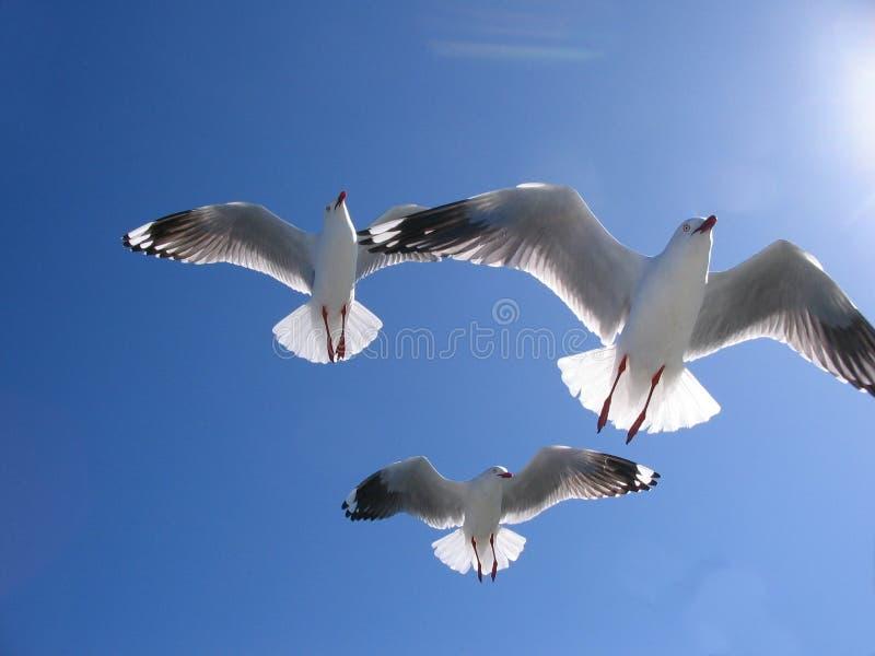 Trzy Pięknego Seagulls w Pełnym lota koszt stały zdjęcia royalty free