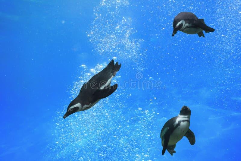 Trzy pingwinu pływa pod wodą zdjęcie stock