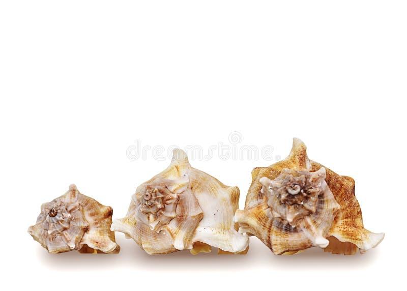 Trzy plażowej skorupy na białym tle fotografia royalty free