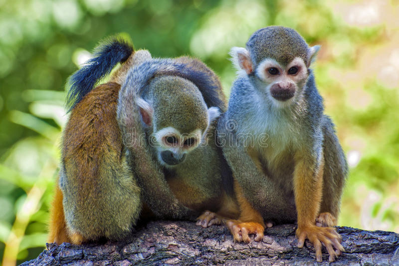 Trzy przyjaciela Saimiri sciureus - Wiewiórcza małpa - obrazy stock