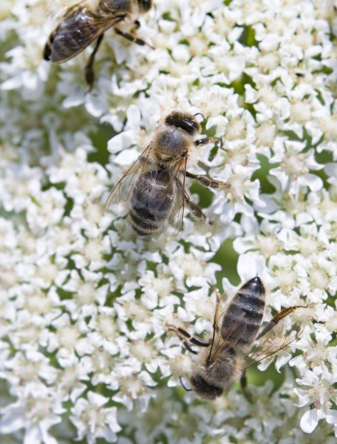 trzy pszczoły fotografia stock