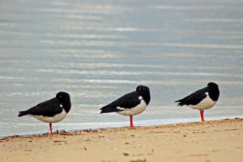 Download Trzy ptaka obraz stock. Obraz złożonej z ptak, ptaki - 53779651