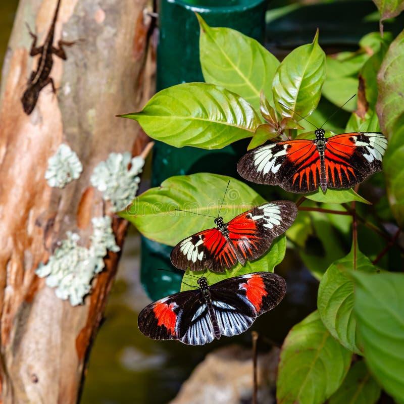 Trzy różny longwing motyli heliconius z zdobycz jaszczurką czaije się w cieniu obraz royalty free