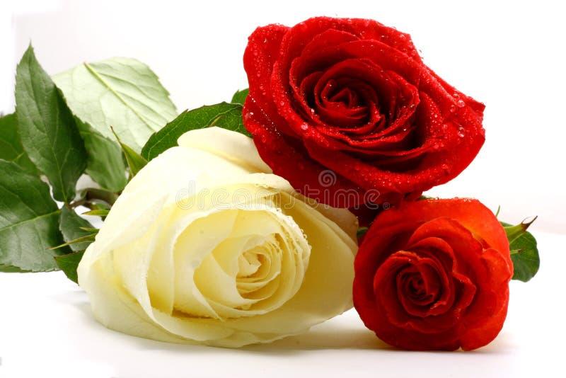 trzy róże fotografia stock