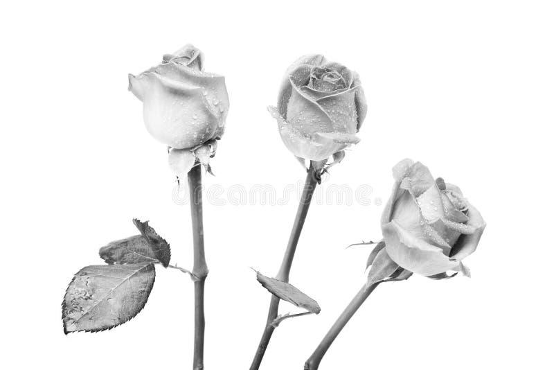 trzy róże fotografia royalty free