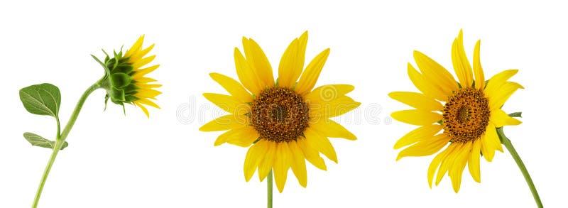 Trzy różny słonecznikowy kwiat na trzonie odizolowywającym na białym tle fotografia royalty free