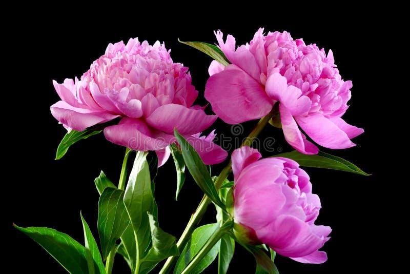 Trzy różowa peonia. zdjęcia stock