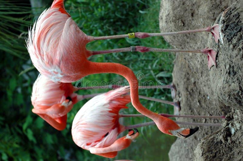 trzy różowią flamingi zdjęcia royalty free