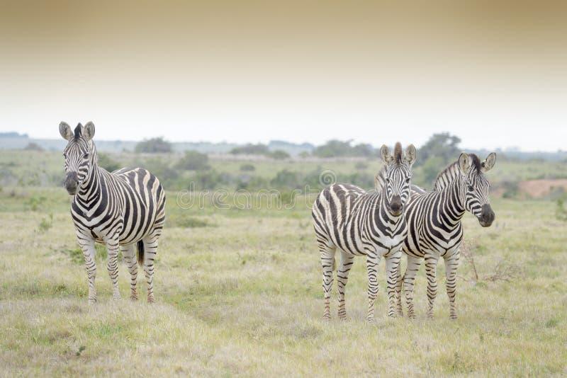 Trzy równiien zebra na sawannie obraz royalty free