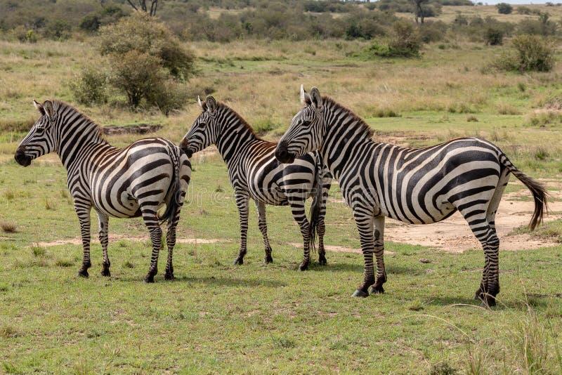 Trzy równiien zebra w Masai Mara, Kenja, Afryka obraz stock