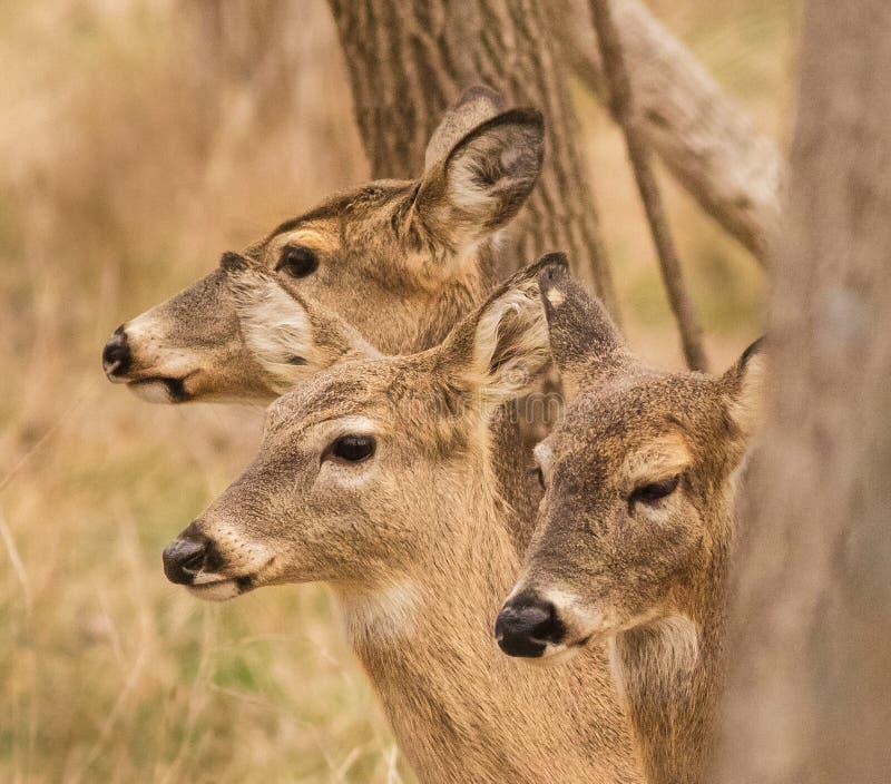 Trzy Robią w poszukiwaniu ranku posiłku fotografia royalty free