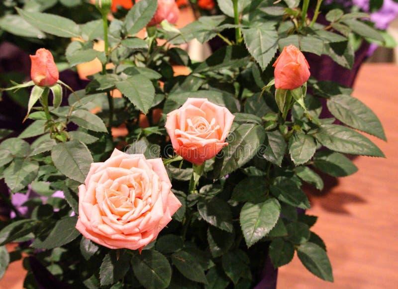 Trzy sceny różowią różanych kwiaty fotografia stock