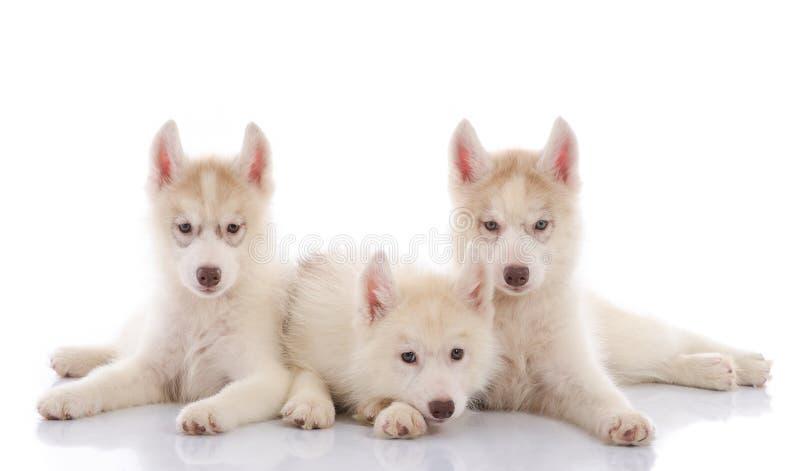 Trzy siberian husky szczeniaka kłaść na białym tle fotografia stock