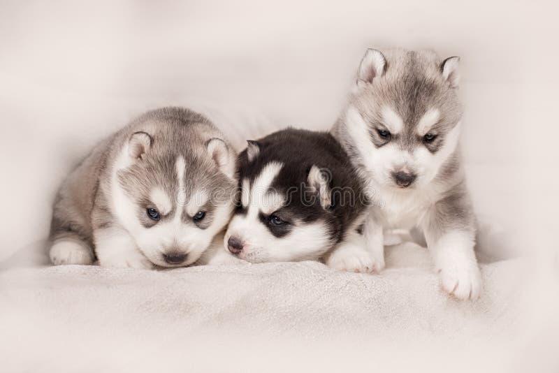 Trzy siberian husky szczeniaki fotografia stock