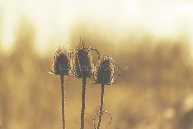 Trzy suchego kwiatu z cierniowym pogodnym tylnym lekkim skutkiem fotografia royalty free