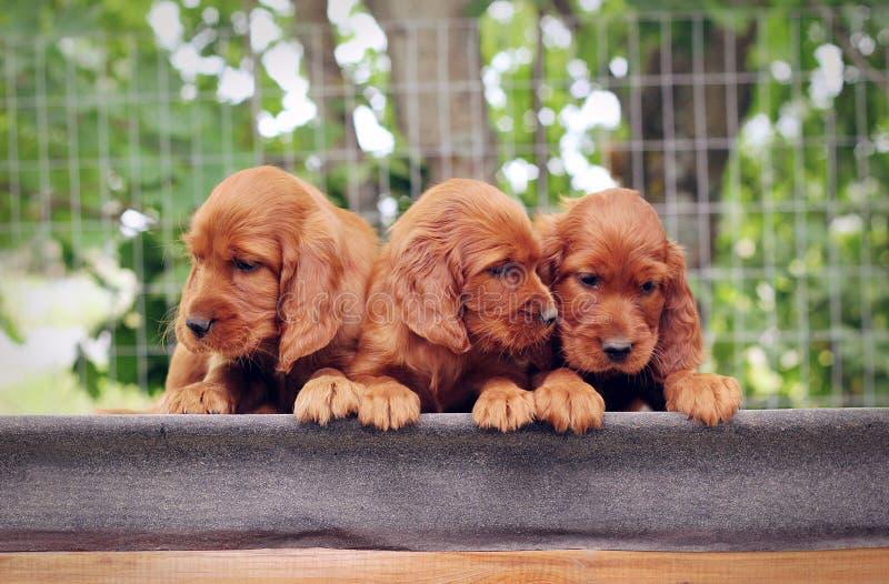 Trzy szczeniaka mały legart obrazy royalty free