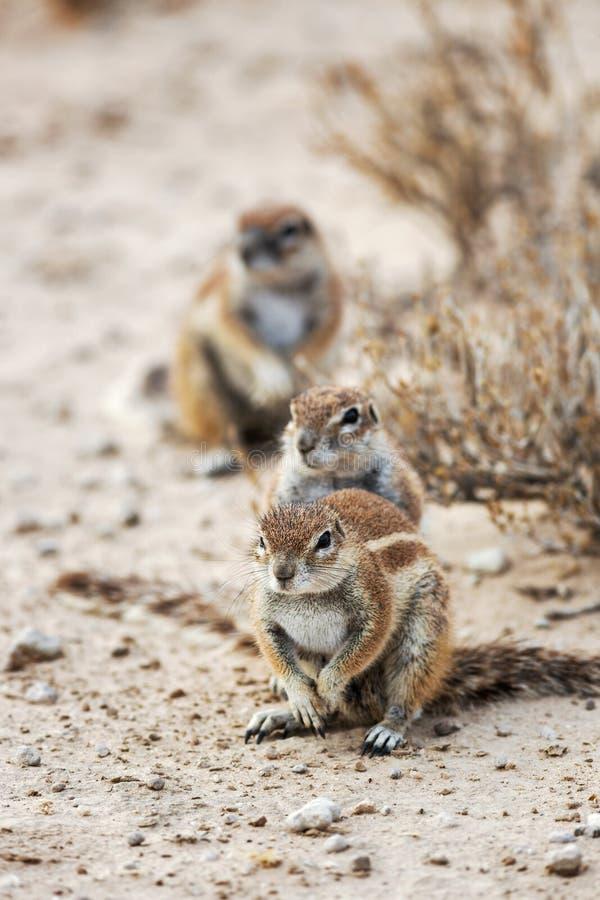Trzy Watchfull przylądka zmielonej wiewiórki, Xerus inauris obraz stock