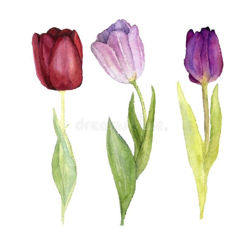 Trzy wektorowego akwarela tulipanu royalty ilustracja