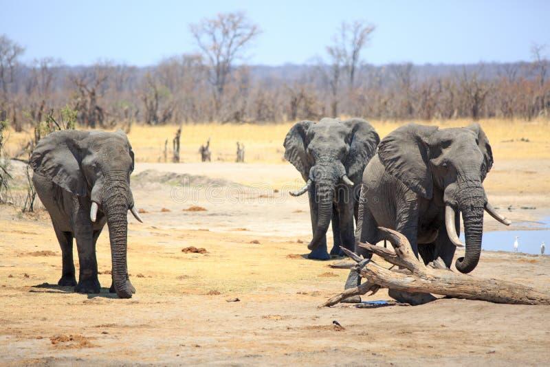 Trzy wielkiego byka słonia na suchych równinach w Afryka zdjęcia royalty free