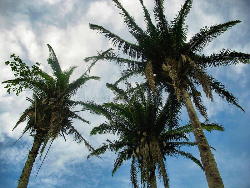 Trzy wielkiego Cohune drzewa zdjęcie royalty free