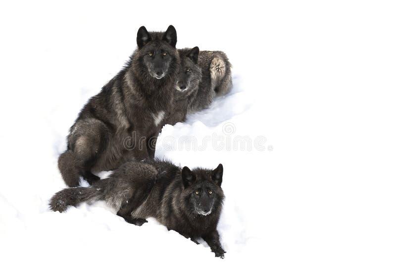 Trzy wilków Canis lupus Czarny portret odizolowywający na białym tła obsiadaniu w zima śniegu w Kanada obraz stock