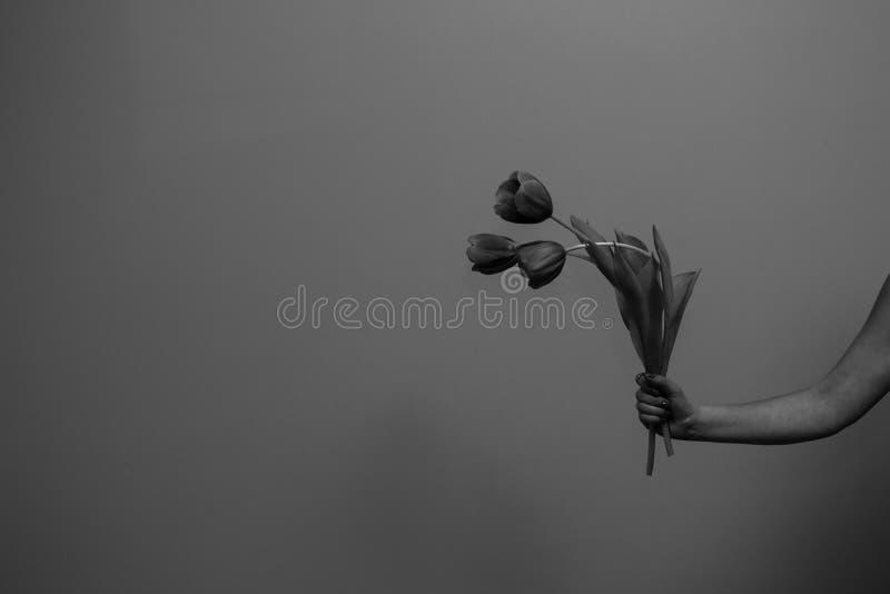 Trzy wiosenne tulipany w kobiecej dłoni zdjęcie royalty free