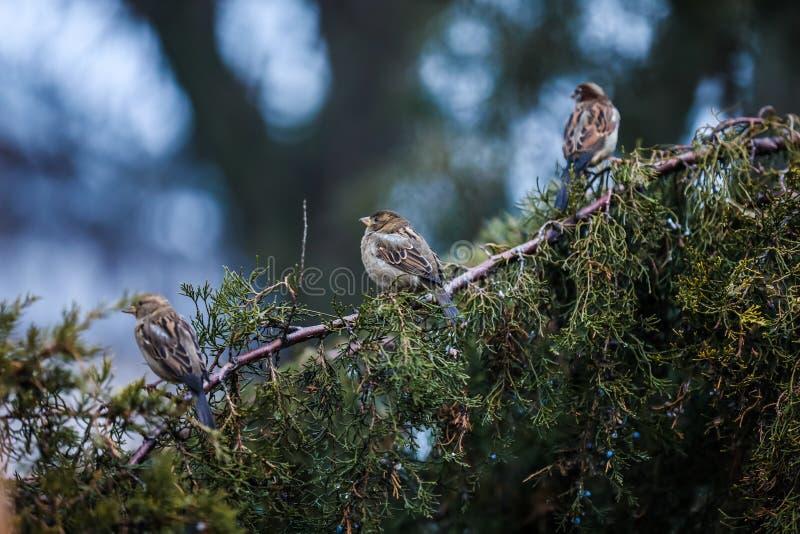 Trzy wróbla siedzą na gałąź fotografia royalty free