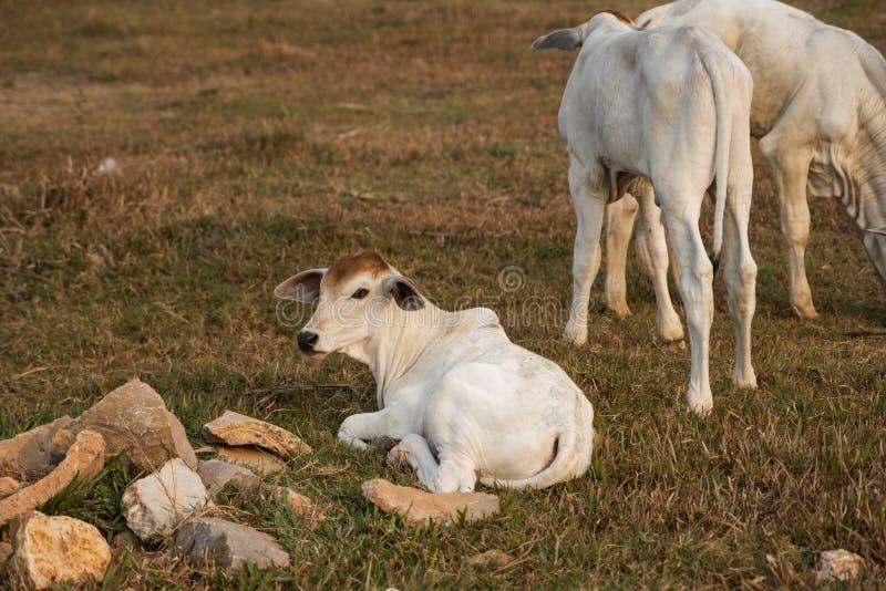 Trzy wychudzone białe krowy kambodżańskie Krajobraz w prowincji Kampot w południowej Kambodży, Azja Grupa krów fotografia stock