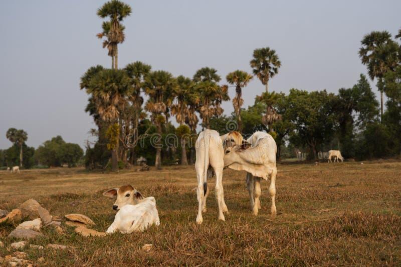 Trzy wychudzone białe krowy kambodżańskie Krajobraz w prowincji Kampot w południowej Kambodży, Azja Grupa krów obrazy royalty free