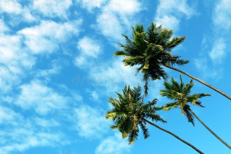 Trzy wysokich palmy, niebieskie niebo i biel chmury, zdjęcia stock