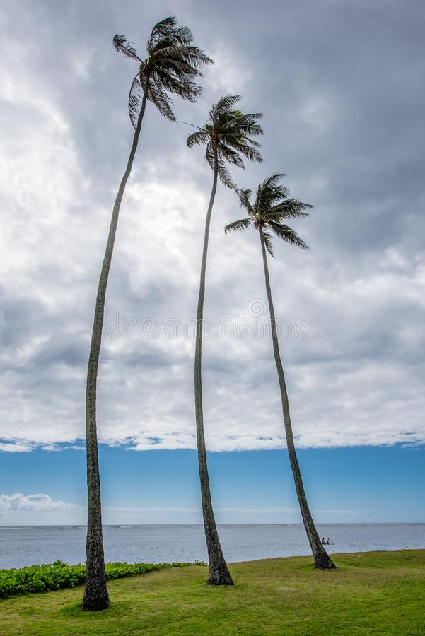 Trzy wysokiego drzewka palmowego w Kawaikui plaży parku na Oahu, Hawaje zdjęcia stock