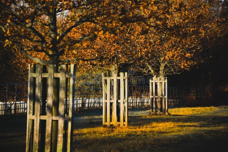 Trzy Złotego drzewa zdjęcie royalty free