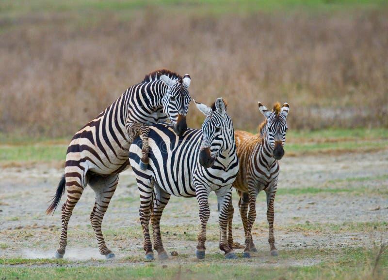 Trzy zebry stoją wpólnie Kenja Tanzania Park Narodowy kmieć Maasai Mara zdjęcia royalty free