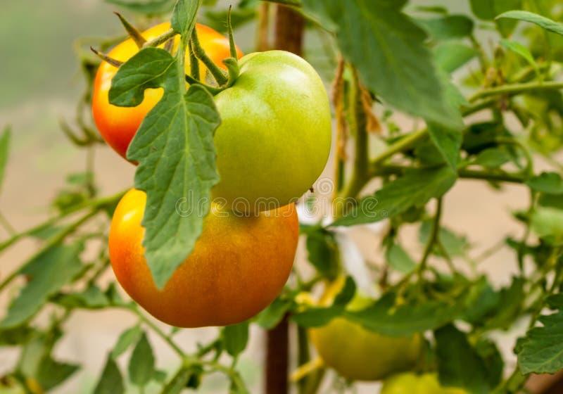 Trzy zieleń pomidoru na gałąź w szklarni zdjęcie stock