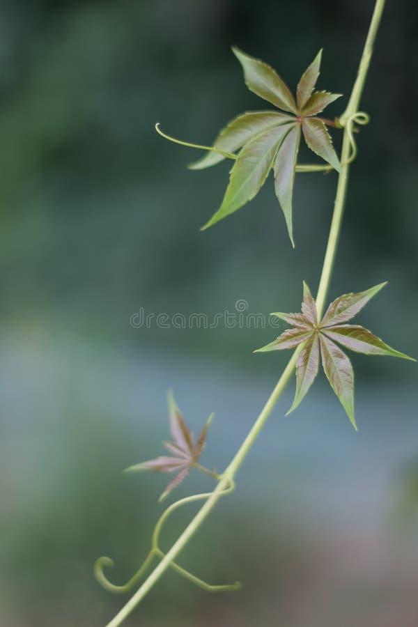 Trzy zielonego liścia na wdrapywać się rośliny z bokeh fotografia stock