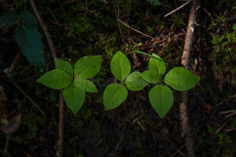 Trzy zielonej liściastej rośliny w mech i brudzie z spadać gałąź z rzędu fotografia royalty free