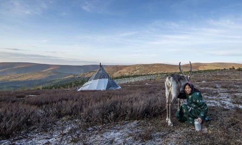 Tsaatan woman milking a reindeer stock image