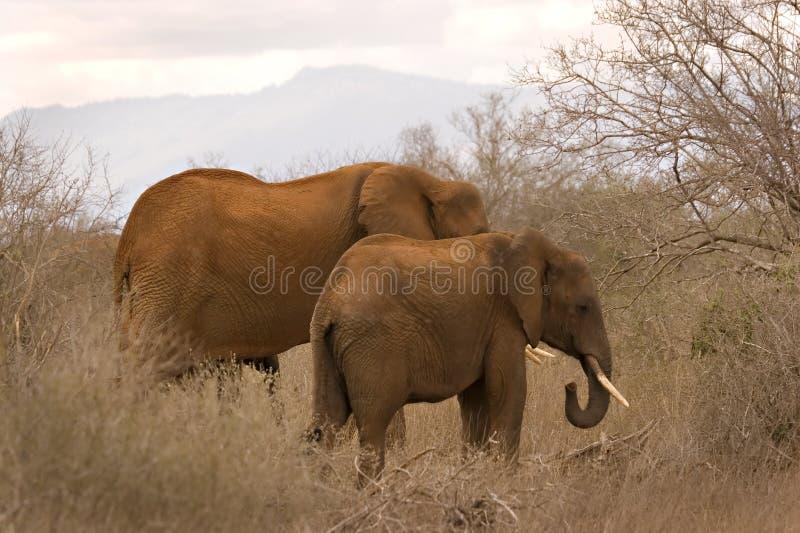 tsavo ελεφάντων στοκ φωτογραφίες