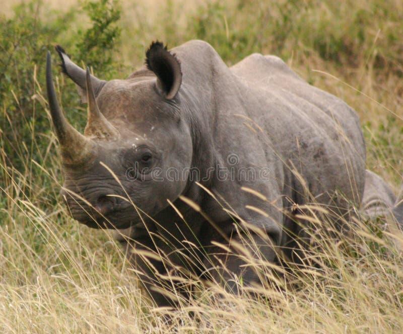 Tsavo Nashorn 2.04 lizenzfreies stockbild