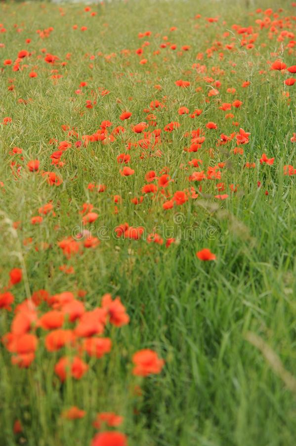 Tschechische Landschaft des Mohnblumenfeldes Rote Blumen des Sommers auf Wiese lizenzfreie stockfotografie