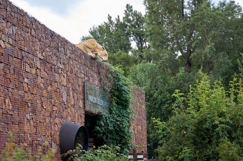 Tschechische Republik Die Zahl eines Tigers, der zur Höhe des Hausdachs im Prag-Zoo schaut 12. Juni 2016 stockbilder