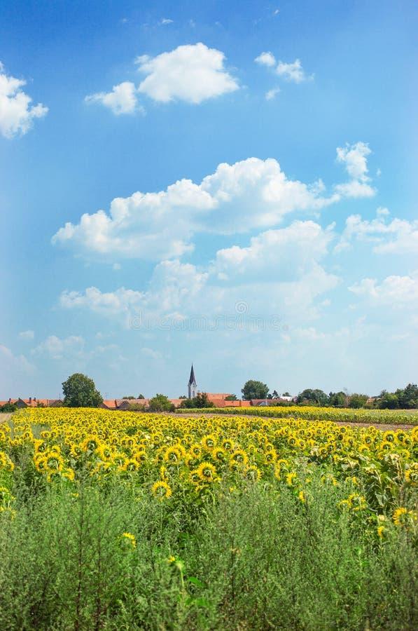 Tschechisches Dorf, Feld von Sonnenblumen stockfoto