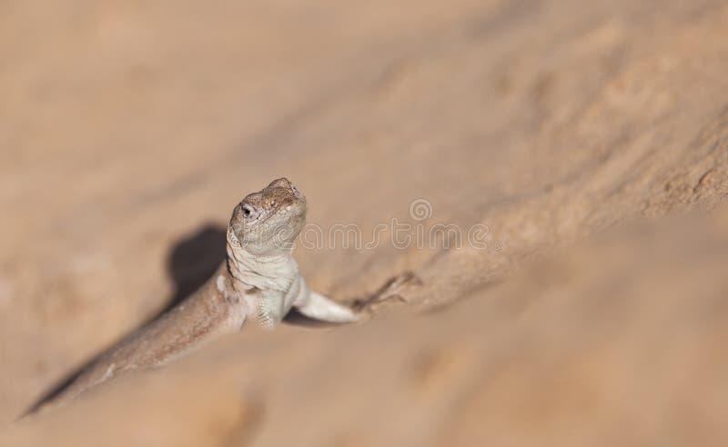 Download Tschudi's Pacific Iguana stock image. Image of natural - 25184549
