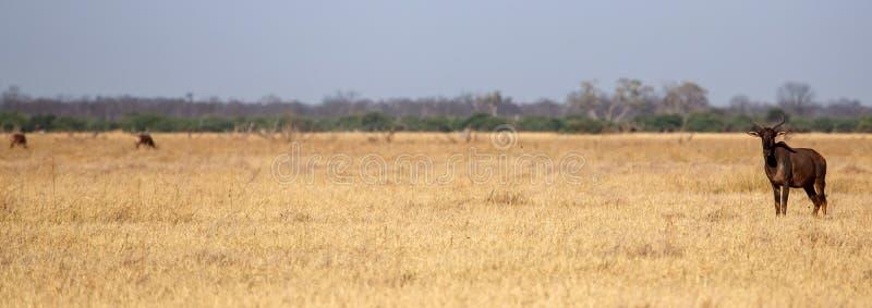 Tsessebe - Chobe N P Le Botswana, Afrique images stock