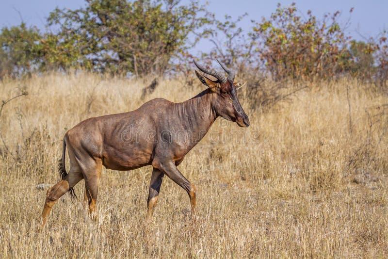 Tsessebe común en el parque nacional de Kruger, Suráfrica; foto de archivo libre de regalías