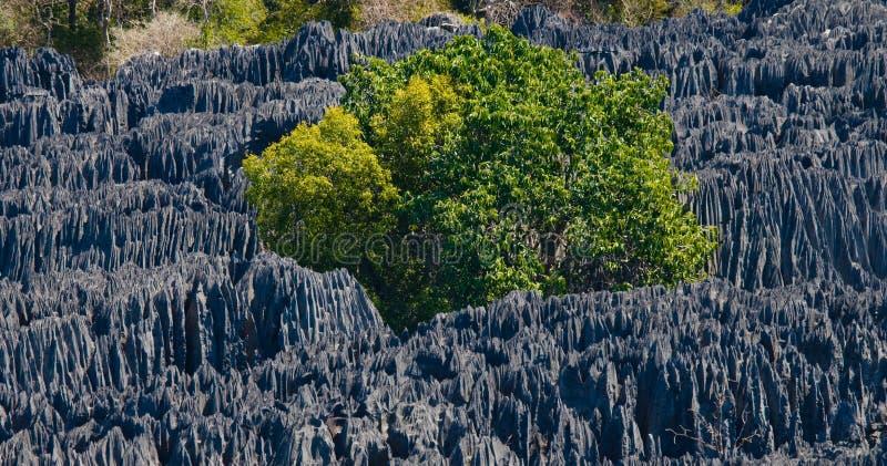 tsingy bemaraha de Typisk landskap med trädet madagascar royaltyfria foton