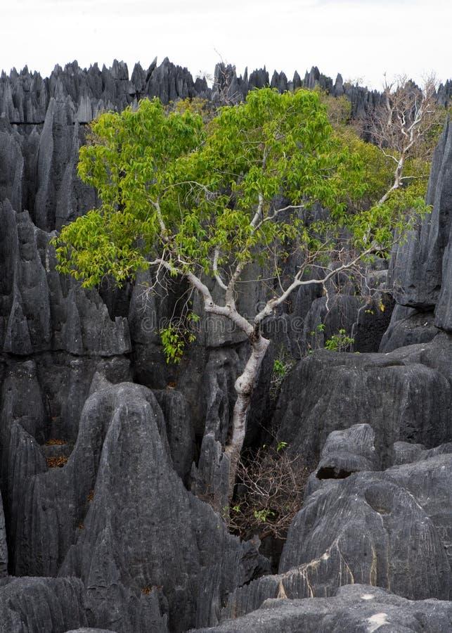 Tsingy DE Bemaraha Typisch landschap met boom madagascar royalty-vrije stock fotografie